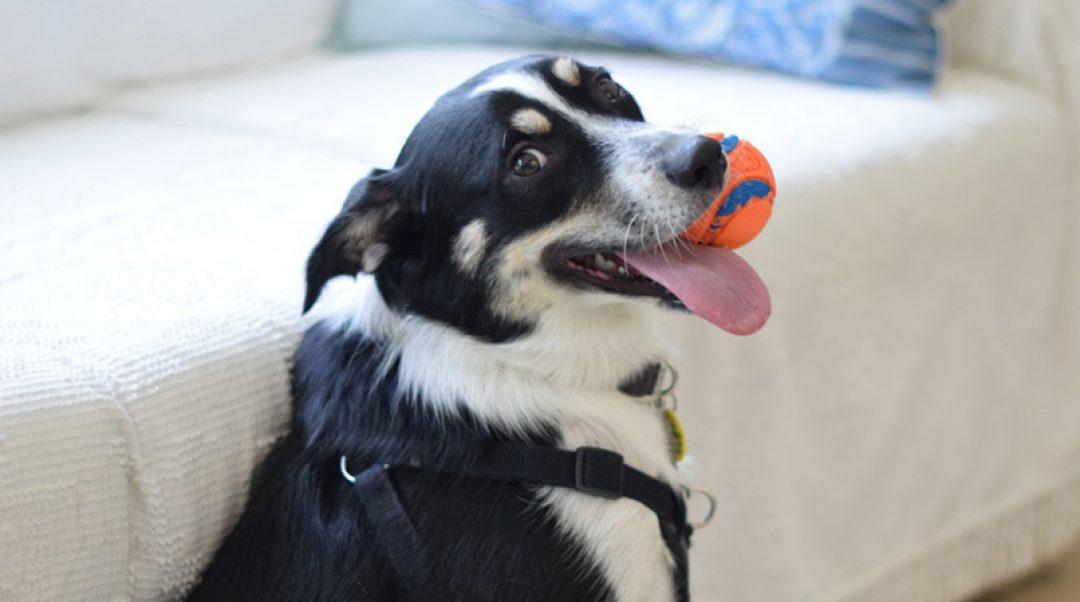 Black and White Dog with Orange Ball