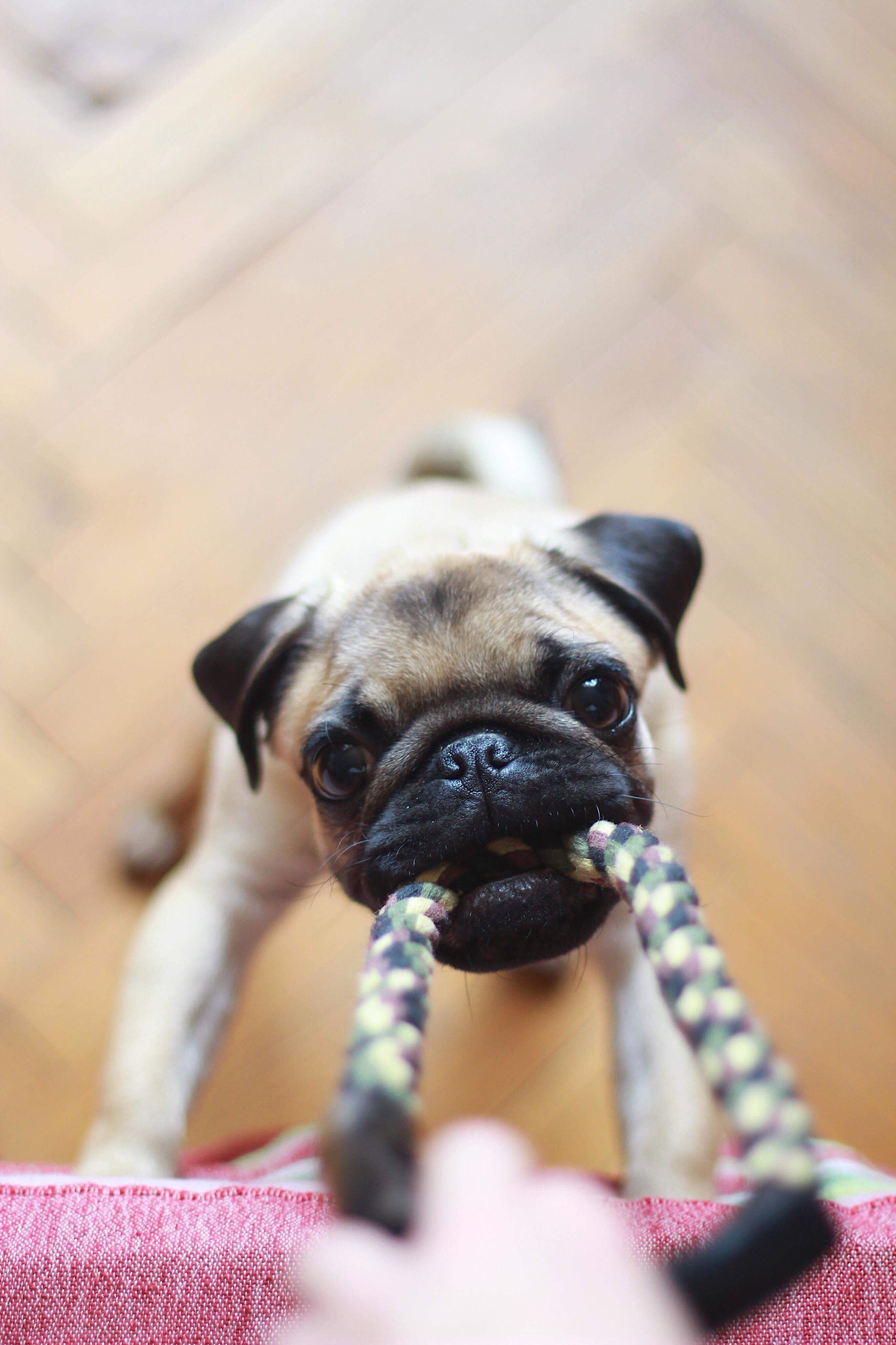 Pug with rope toy