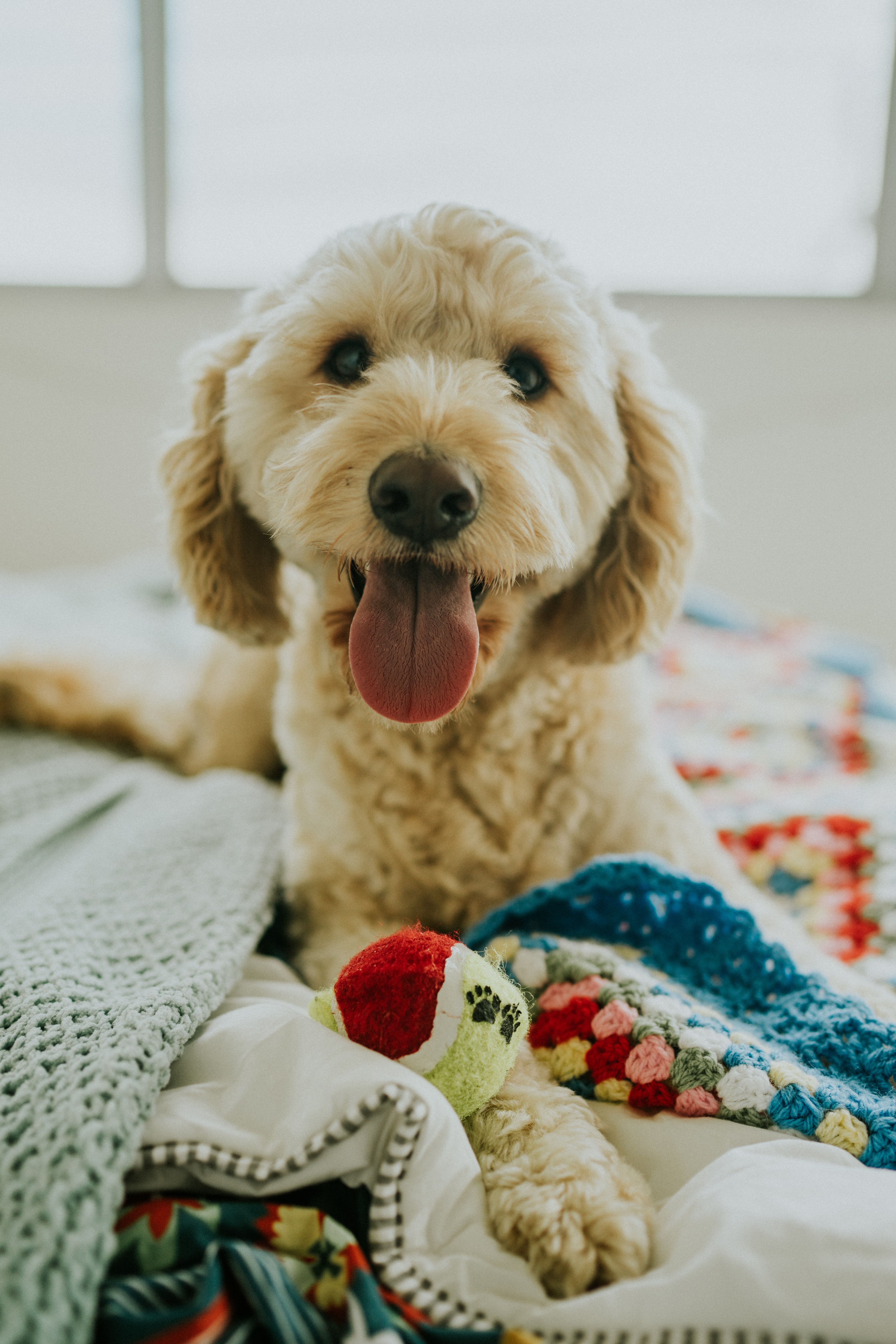 Goldendoodle on bed with ball